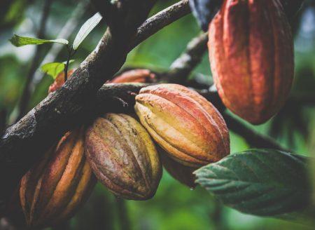 cacao ghana